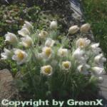 Weiße Küchenschelle - Pulsatilla vulgaris