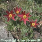 Küchenschelle Rote Glocke - Pulsatilla vulgaris