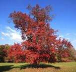 Scharlach Eiche Campanile 80-100cm - Quercus coccinea Campanile