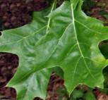 Scharlach Eiche Splendens 125-150cm - Quercus coccinea