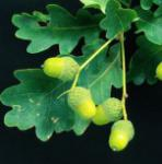 Zwerg Säuleneiche 60-80cm - Quercus robur