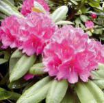 Großblumige Rhododendron Catharine van Tol 30-40cm - Alpenrose
