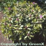 Großblumige Rhododendron Blattgold 25-30cm - Alpenrose