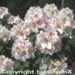 Großblumige Rhododendron Simona 30-40cm - Alpenrose