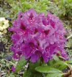 INKARHO - Großblumige Rhododendron Azurro 40-50cm - Alpenrose