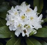 INKARHO - Großblumige Rhododendron Cunningham White 30-40cm - Alpenrose