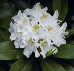 INKARHO - Großblumige Rhododendron Cunningham White 30-40cm - Alpenrose