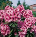 INKARHO - Großblumige Rhododendron Kokardia 30-40cm - Alpenrose