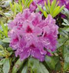 Großblumige Rhododendron Rasputin 25-30cm - Alpenrose