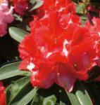 Großblumige Rhododendron Wilgen Ruby 25-30cm - Alpenrose
