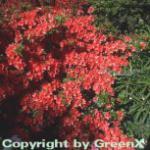 Japanische Azalee Geisha Orange 15-20cm - Rhododendron obtusum - Alpenrose