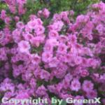 Japanische Azalee Rosebud 25-30cm - Rhododendron obtusum - Zwerg Alpenrose