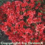 Japanische Azalee Rotstein 15-20cm - Rhododendron obtusum - Zwerg Alpenrose
