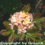 Azalee Cannon Double 60-70cm - Rhododendron luteum - Alpenose