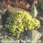 Zwerg Rhododendron Wren 15-20cm - Rhododendron ludlowii
