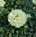 Rhododendron Centennial Gold 20-25cm - Alpenrose