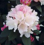 Rhododendron Dreamland 20-25cm - Alpenrose