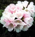 Hochstamm Rhododendron Edelweiß 60-80cm - Alpenrose