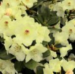 Hochstamm Rhododendron Flava 60-80cm - Alpenrose