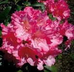 Hochstamm Rhododendron Kalinka 60-80cm - Alpenrose