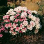 Rhododendron Koichiro Wada 15-20cm - Alpenrose