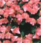 Hochstamm Rhododendron Lampion 60-80cm - Alpenrose