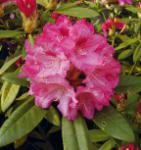 Rhododendron Sneezy 20-25cm - Alpenrose