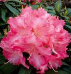 Hochstamm Rhododendron Sonatine 60-80cm - Alpenrose