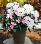 Rhododendron Hydon Velvet 30-40cm - Rhododendron bureavii