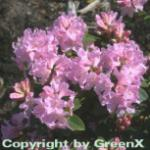 Rostblättrige Alpenrose Tottenham 20-25cm - Rhododendron ferrugineum