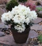 Rostblättrige Alpenrose Album 25-30cm - Rhododendron ferrugineum