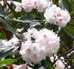 Wildform Rhododendron fortunei 50-60cm - Rhododendron fortunei