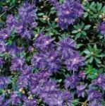 Zwerg Rhododendron Azurika 15-20cm - Rhododendron impeditum - Zwerg Alpenrose