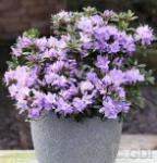 Zwerg Rhododendron Blaue Mauritius 25-30cm - Rhododendron impeditum - Zwerg Alpenrose