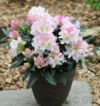 Ur-Wildform Rhododendron 25-30cm - Rhododendron insigne
