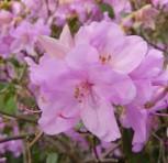 Zwerg Alpenrose Robert Seleger 25-30cm - Rhododendron keleticum