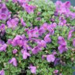 Zwerg Alpenrose 10-15cm - Rhododendron keleticum