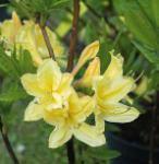 Azalee Arpege 30-40cm - Rhododendron luteum - Alpenose