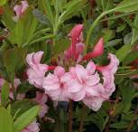 Azalee Corneille 70-80cm - Rhododendron luteum - Alpenrose