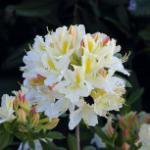 Azalee Daviesii 50-60cm - Rhododendron luteum - Alpenrose