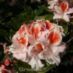 Azalee Jock Brydon 25-30cm - Rhododendron luteum - Alpenrose