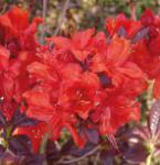 Azalee Royal Command 30-40cm - Rhododendron luteum - Alpenrose