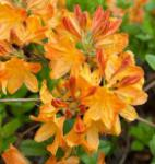 Azalee Sunte Nectarine 30-40cm - Rhododendron luteum - Alpenrose