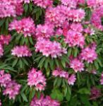 Rhododendron Rosa Perle 30-40cm - Rhododendron makinoi