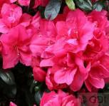 Japanische Azalee Arabesk 15-20cm - Rhododendron obtusum - Zwerg Alpenrose