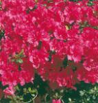 Japanische Azalee Canzonetta 20-25cm - Rhododendron obtusum - Zwerg Alpenrose