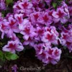 Japanische Azalee Peppina® 25-30cm - Rhododendron luteum - Zwerg Alpenrose