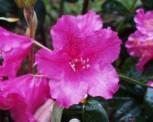 Japanische Azalee Rosalind 20-25cm - Rhododendron obtusum - Zwerg Alpenrose