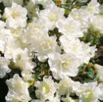 Japanische Azalee Schneeperle® 15-20cm - Rhododendron obtusum - Zwerg Alpenrose