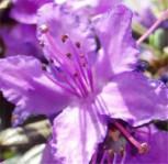 Kriech und Zwerg Rhododendron 10-15cm - Rhododendron radistrotum